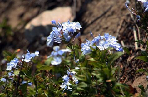 blueflowers_5976