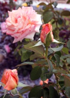 rosesjune17 179