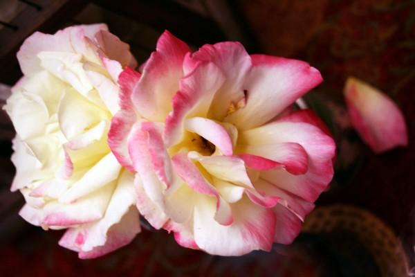 RosesPetalFalling0779