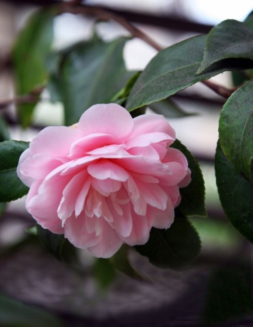 Camellia2014_1391