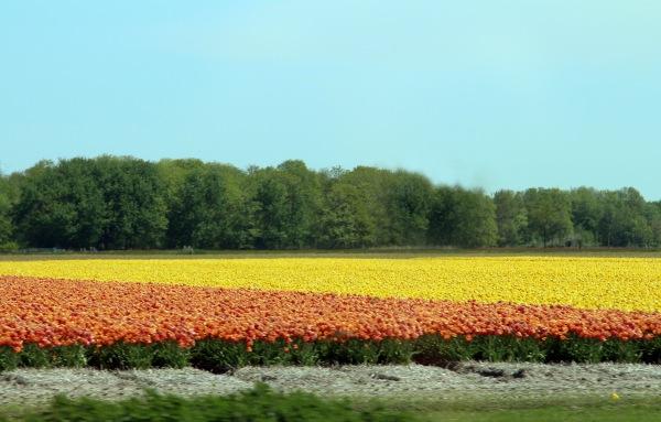 Tulipfields_1180