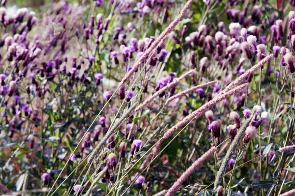 weedsLucca_1834