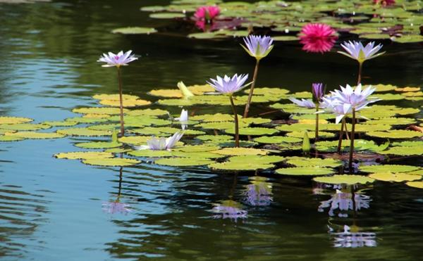 Purple13.9Waterlilies