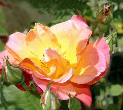 yelloworange rose