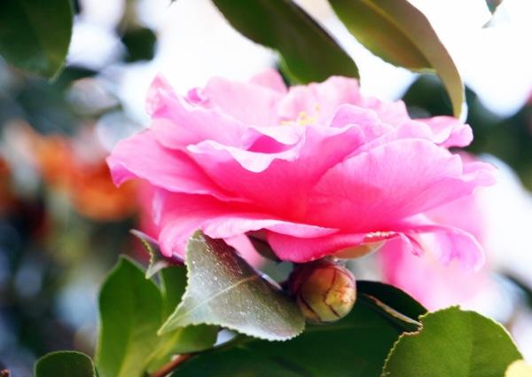 Spring2014Camellia_0050