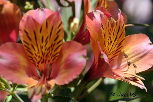 Tigerflower_7467