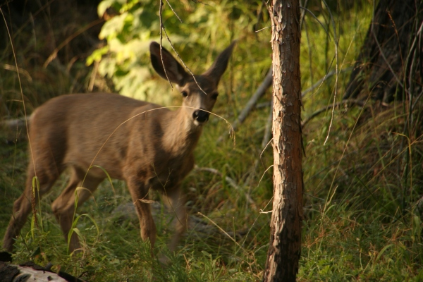 deer_8866