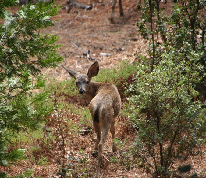 DeerLooking_2562