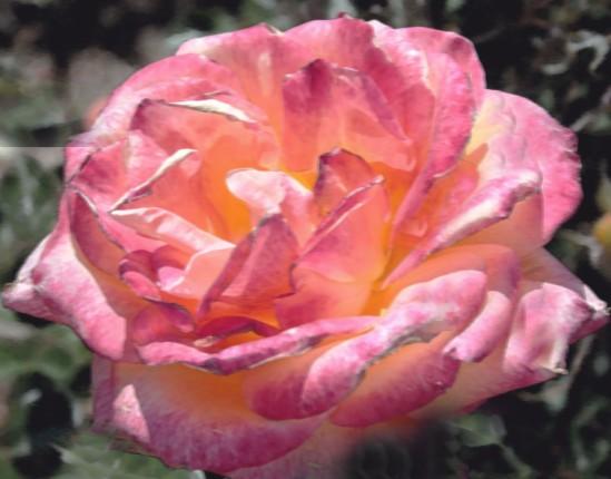 perfect rose 266