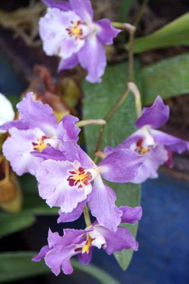 purple Orchids_5802