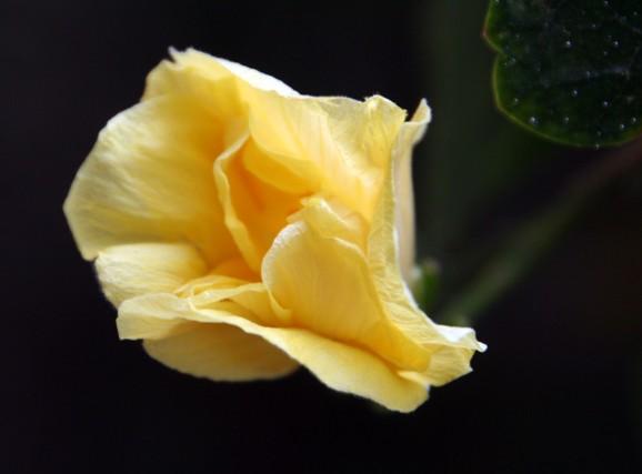 HibiscusBloom_2006