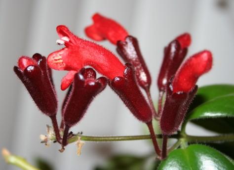 Lipstickplantcrop