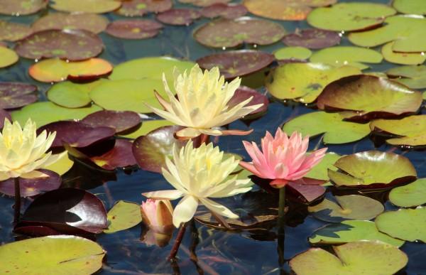 WaterliliesReflect_3416