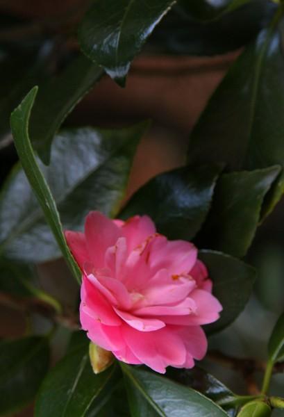 Camellia_4571