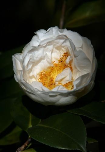 CamelliaWhite_0014