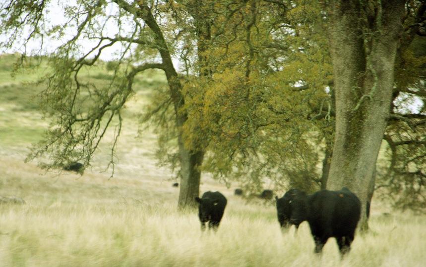 Cows2_3316