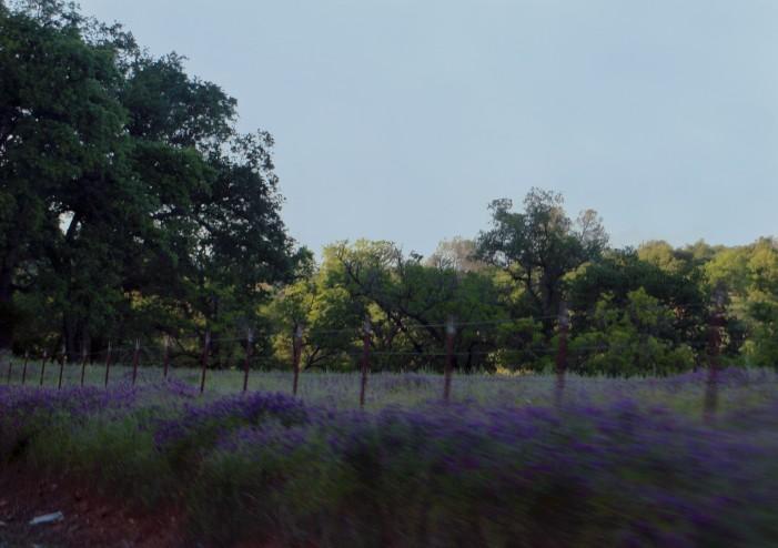 Fence&purpleblooms_0631