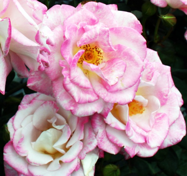 pink roses061
