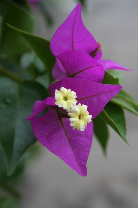 BougainvillaChina 312