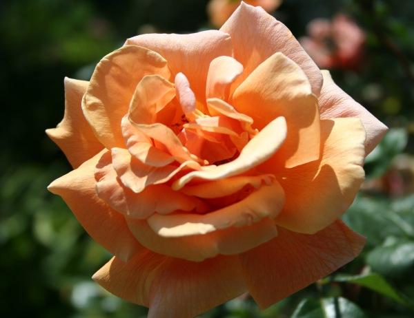 Orange rose 274