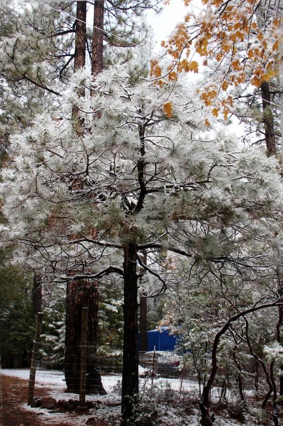 SnowTree n Fence_3832