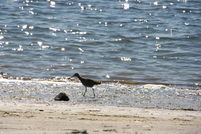 Bird on beachSanDiego_5861