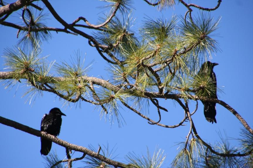 Birds Yosemite_3376