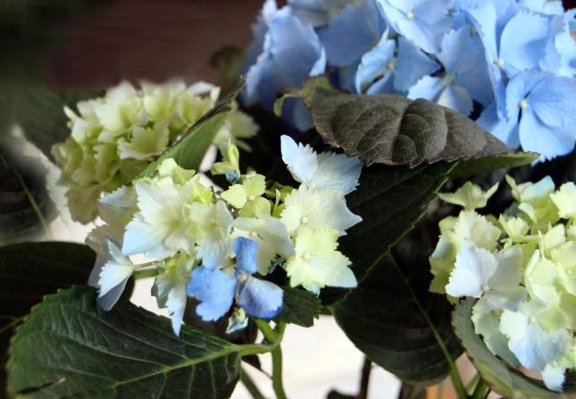 Blue Hydrangea_4800
