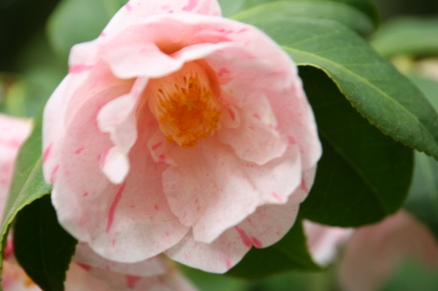 Camellia PinkPeach_0566