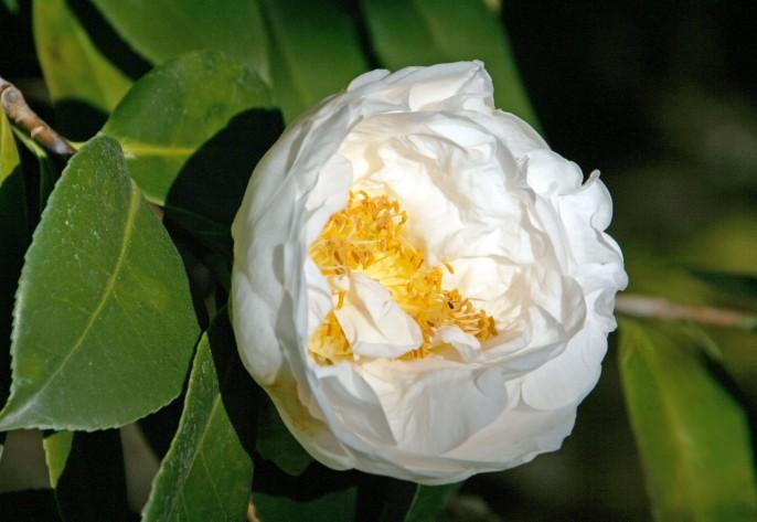 WhiteCamellia_0014