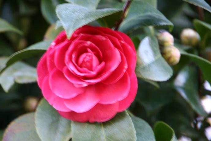 Camellia_0056