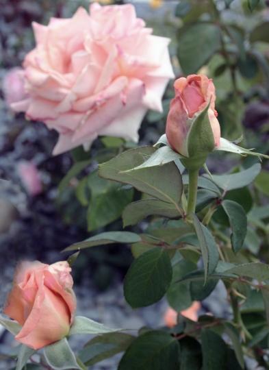 Peach roses179