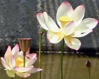 WaterliliesDetailSanD 290