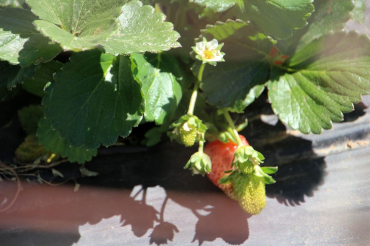 FirstStrawberries_1969