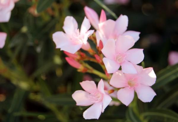 Oleander_3103