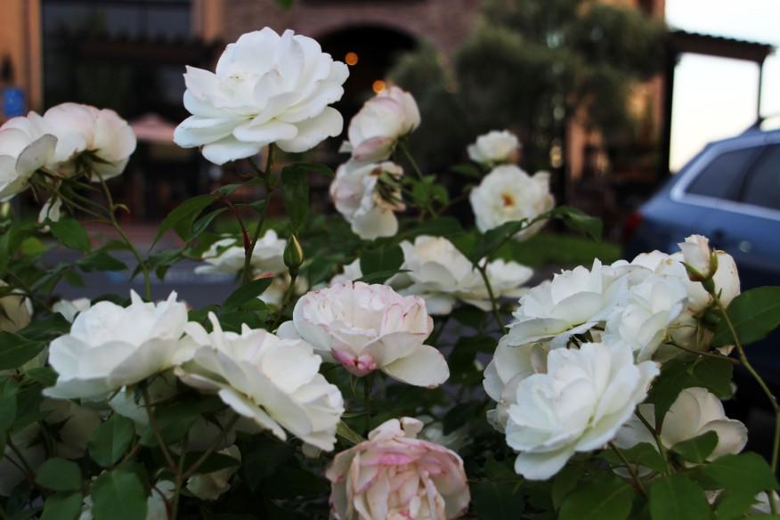 Roses at Peets_0710