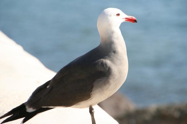 Seagull_5695