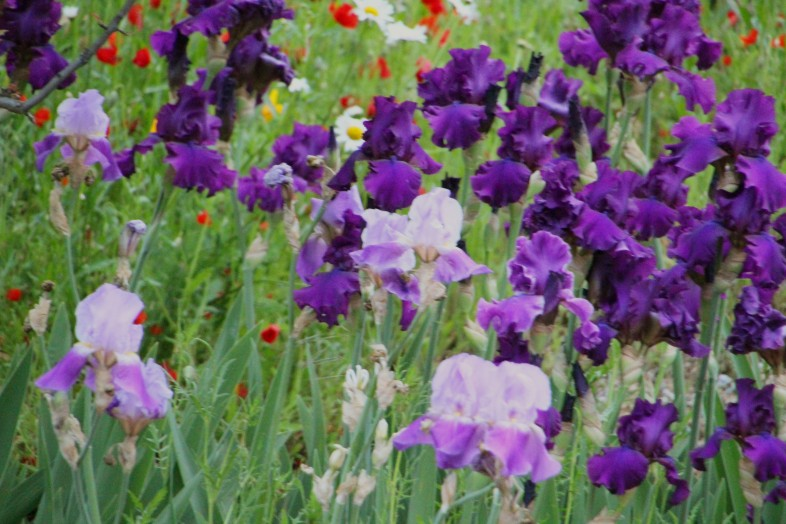 Irises_1313
